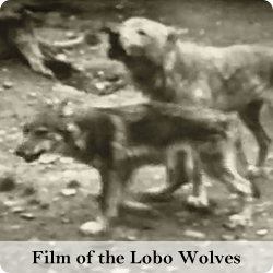 View films of the lobo wolves