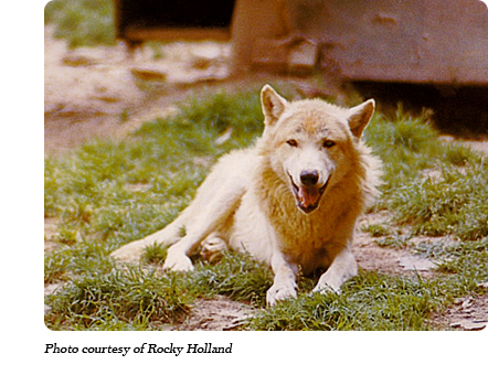 A lobo wolf at Dr. McCleery's wolf park along Route 6 between Kane and Mt. Jewett, PA