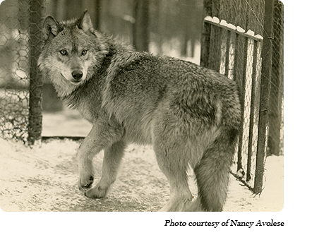 "A ""Timid Youngster"" at Dr. McCleery's lobo wolf park along Route 6 between Kane and Mt. Jewett, PA."