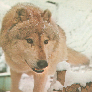 Canis Lupus Nubilus (Lobo or Buffalo Wolves) at the Lobo Wolf Park - Wolf in the Snow [Postcard]