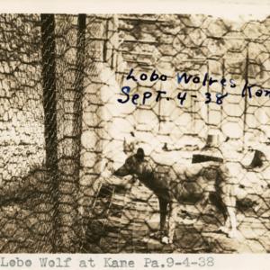 Lobo Wolf at Kane Pa. 9-4-38 [Postcard]