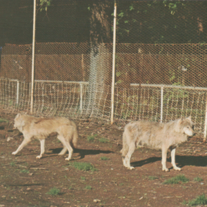 Lobo Wolves at Wolfe Park - Two White Wolves [Postcard]