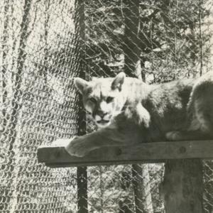 Mountain Lion at the Lobo Wolf Park near Kane [Photograph]