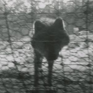 wolf staring through fence.jpg