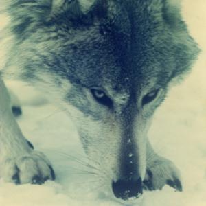 Wolf at the Lobo Wolf Park near Kane [Photograph]