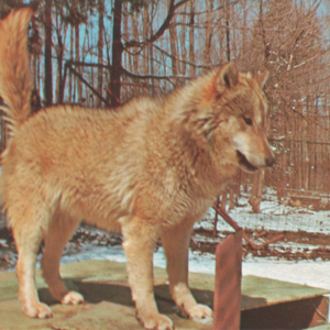 Canis Lupus Nubilus (Lobo or Buffalo Wolves) at the Lobo Wolf Park - Wolf Standing on Den [Postcard]