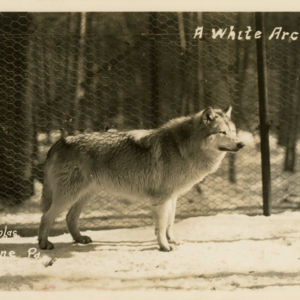 A White Arctic [Postcard]