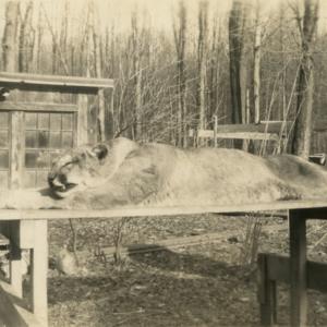 Dead Mountain Lion which Killed Claude Mollander Jr.'s Dog [Photograph]