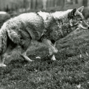 Coyote at the Lobo Wolf Park [Photograph]