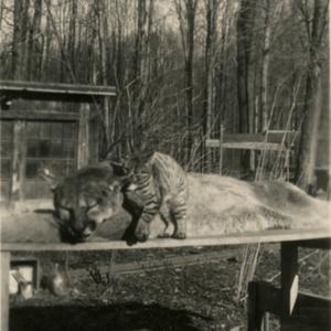Cat Rubbing against a Dead Mountain Lion [Photograph]