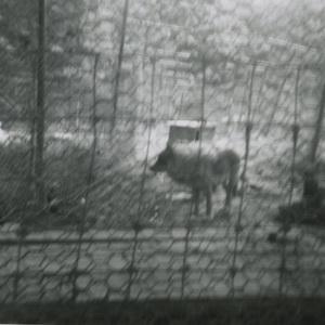 wolf through fence.jpg