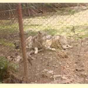 Wolves at the Lobo Wolf Park near Kane [Photograph]