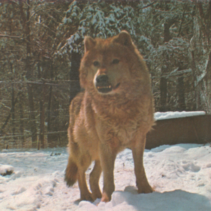 Canis Lupus Nubilus (Lobo or Buffalo Wolves) at the Lobo Wolf Park - Saber [Postcard]