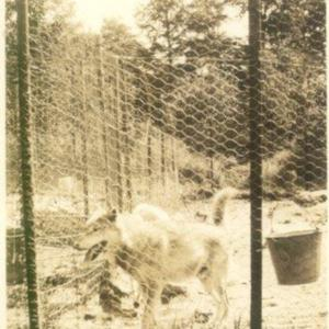 wolves69   1924 - wolf and bucket to right.jpg