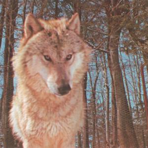 Canis Lupus Nubilus (Lobo or Buffalo Wolves) at the Lobo Wolf Park - Wolf Headshot [Postcard]