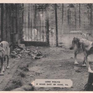 Lobo Wolves 5 Miles East of Kane, PA. [Postcard]